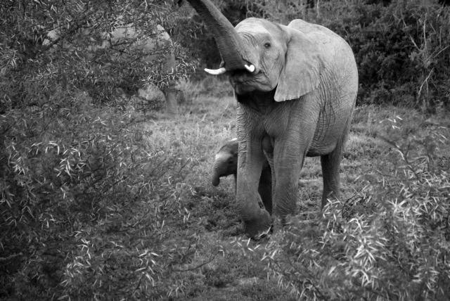 Baby elephants in black & white