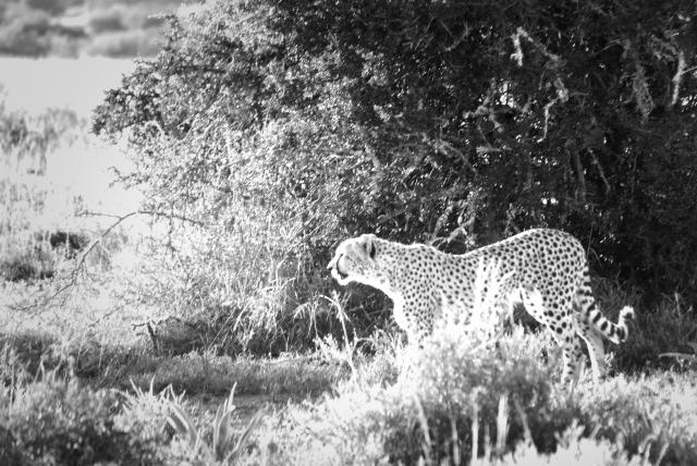 Cheetah in the sun