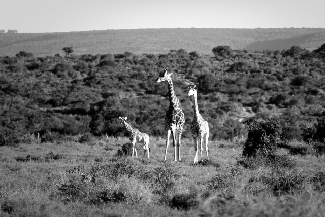 Giraffe family picture