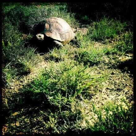 Leoapard turtle