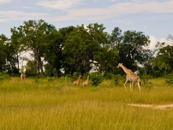 Giraffes Botswana