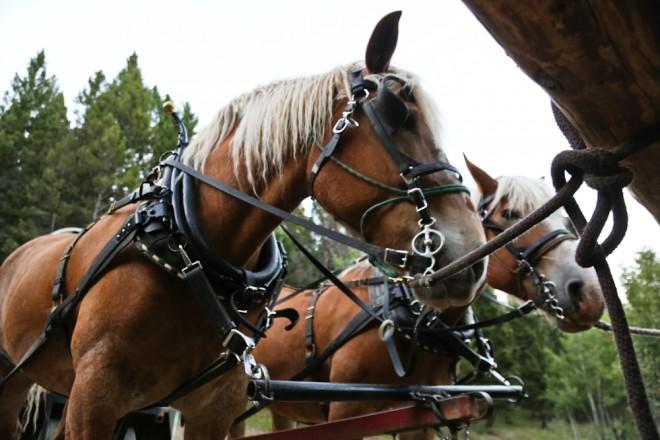 Draft Horses at the Last Chance Ranch