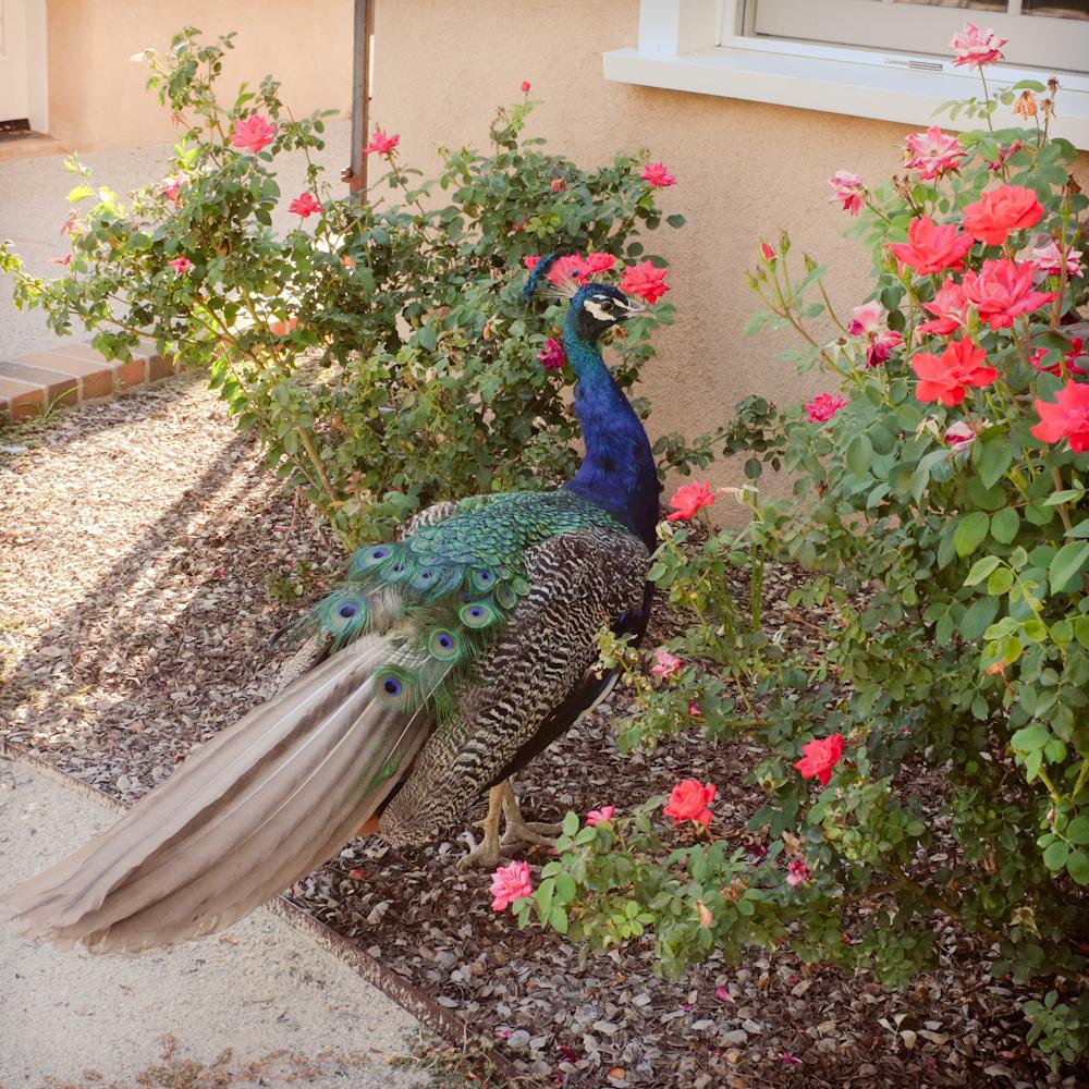 Strolling peacock